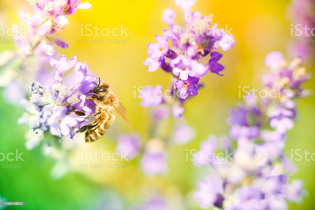 Bee pollinating lavender royalty-free stock photo