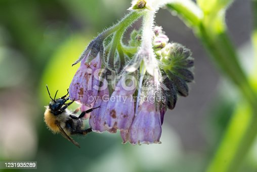 Close up photo of pink comfrey flower being pollinated by honey bee