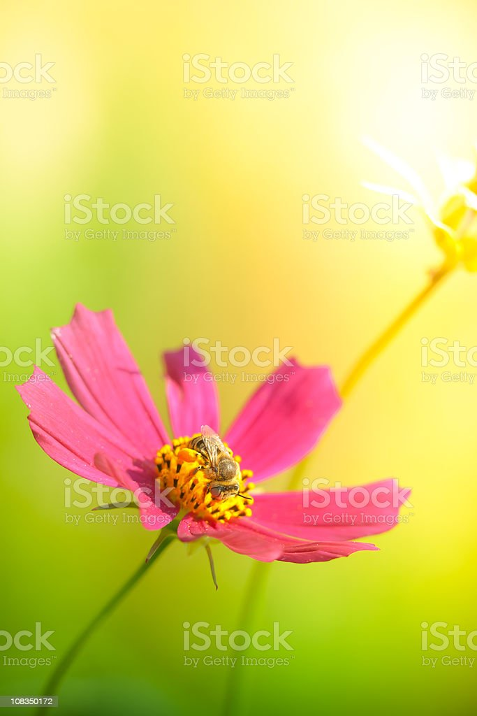 Bee pollinating pink flower royalty-free stock photo