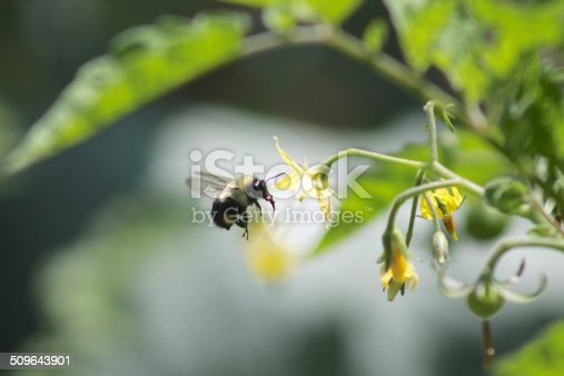 Bumble Bee and wasp on speedwell plant,Eifel,Germany.\nPlease see many more similar pictures of my Portfolio.