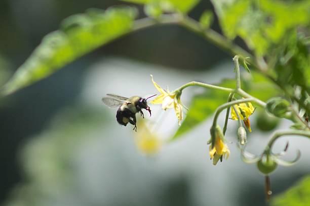ape pollinating pomodori - calabrone ape foto e immagini stock