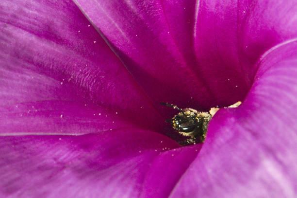 Flor violeta polinizadora de abejas - foto de stock