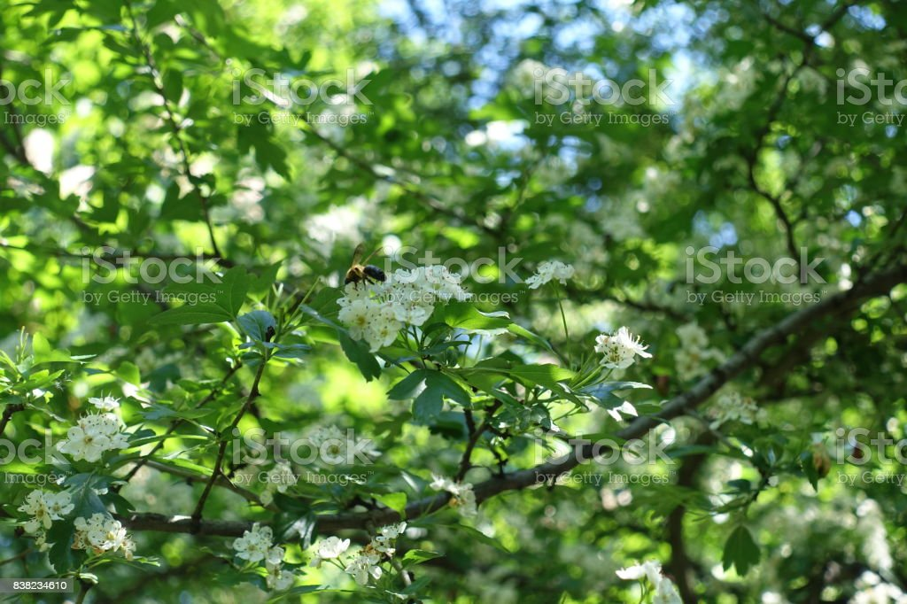 Bee pollinating white flowers of hawthorn tree stock photo