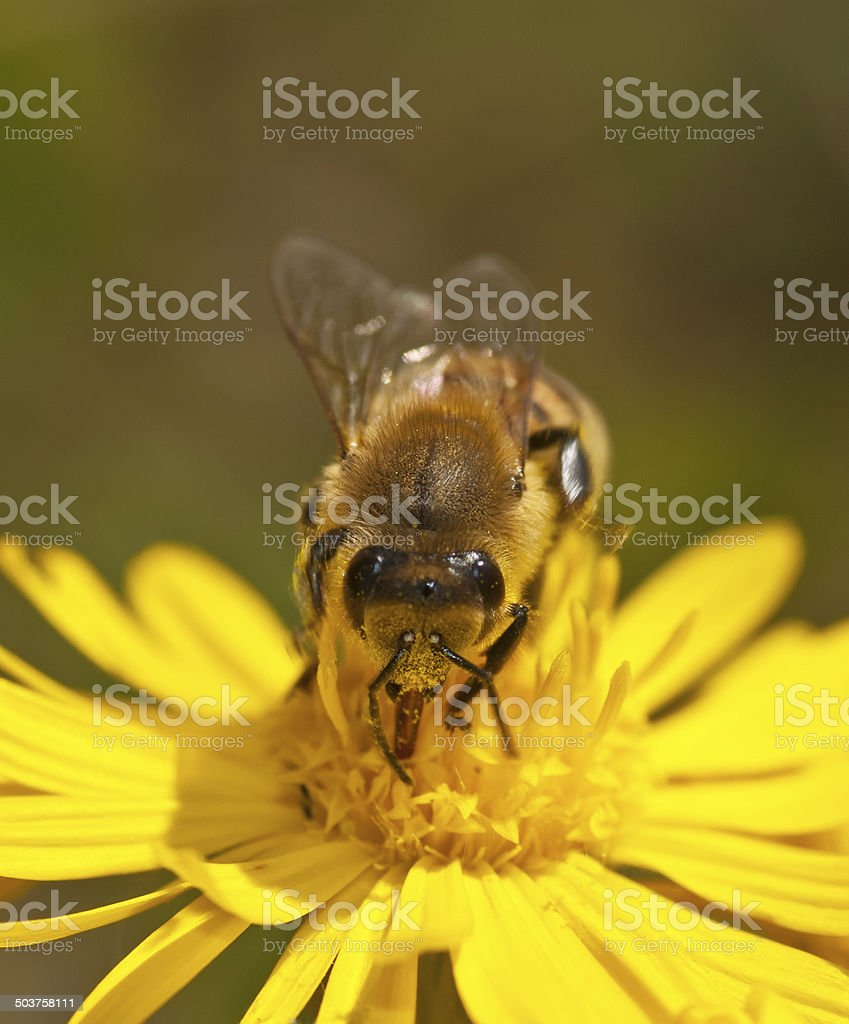 Bee pollinating wild flower, Front view stock photo