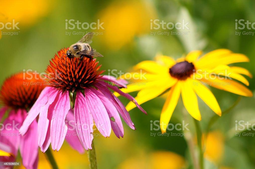 Bee Pollinating Wildflower Bee Pollinating Wildflower, Wildflower Farm Vt. 2015 Stock Photo