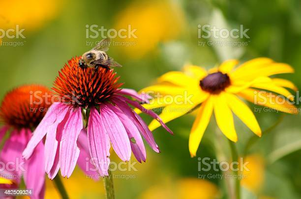 Bee Pollinating Wildflower Stock Photo - Download Image Now