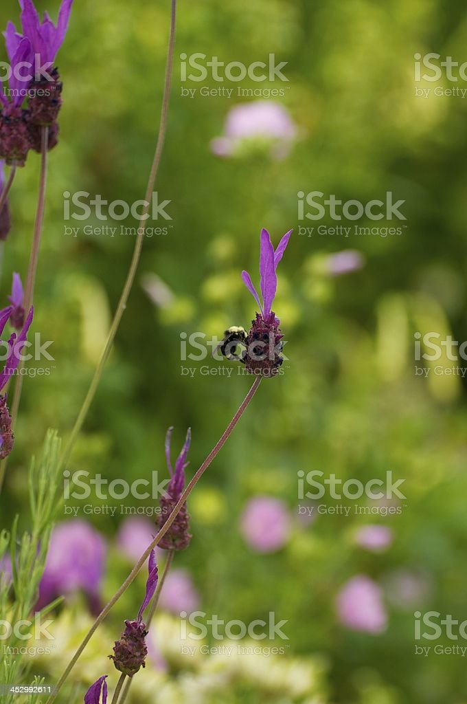 Bee Pollination royalty-free stock photo