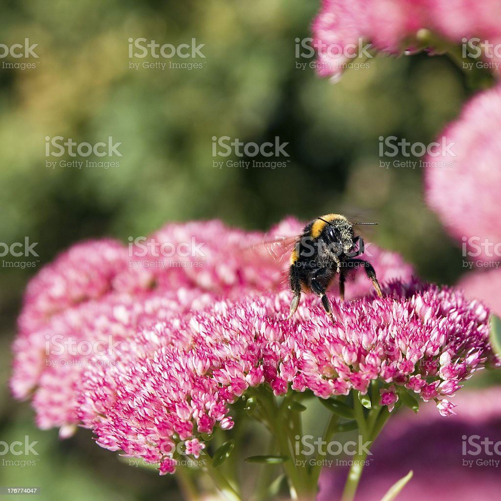 Bee preparing to takeoff from a flower royalty-free stock photo