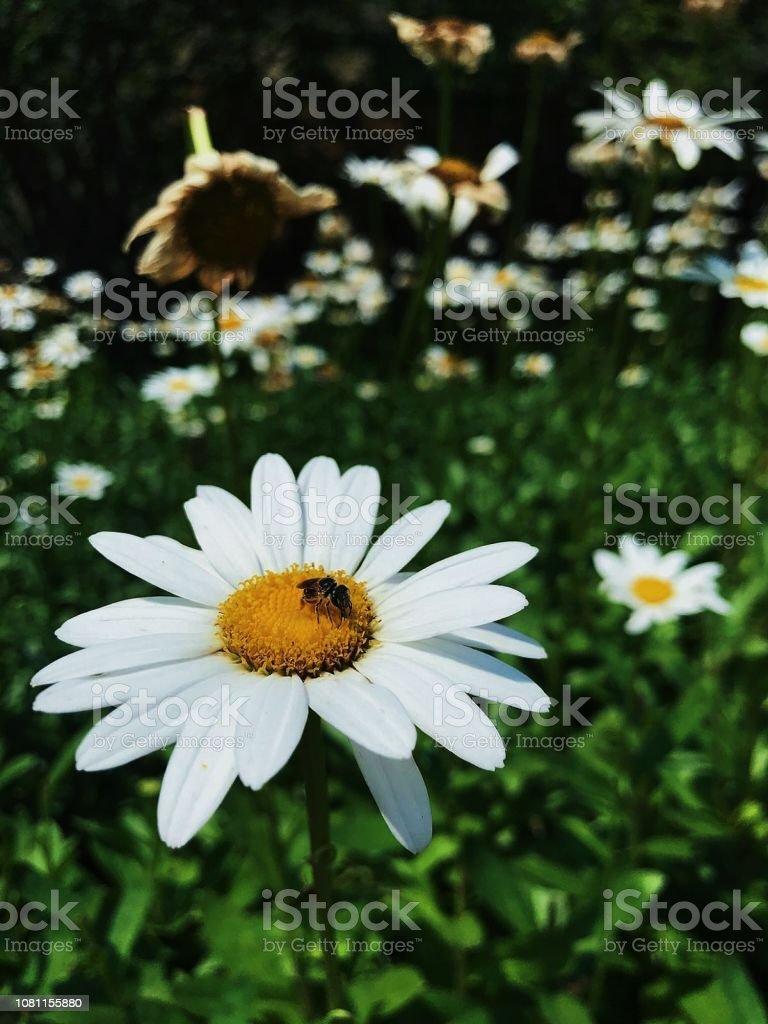 abelha, descansando sobre Asteraceae - foto de acervo