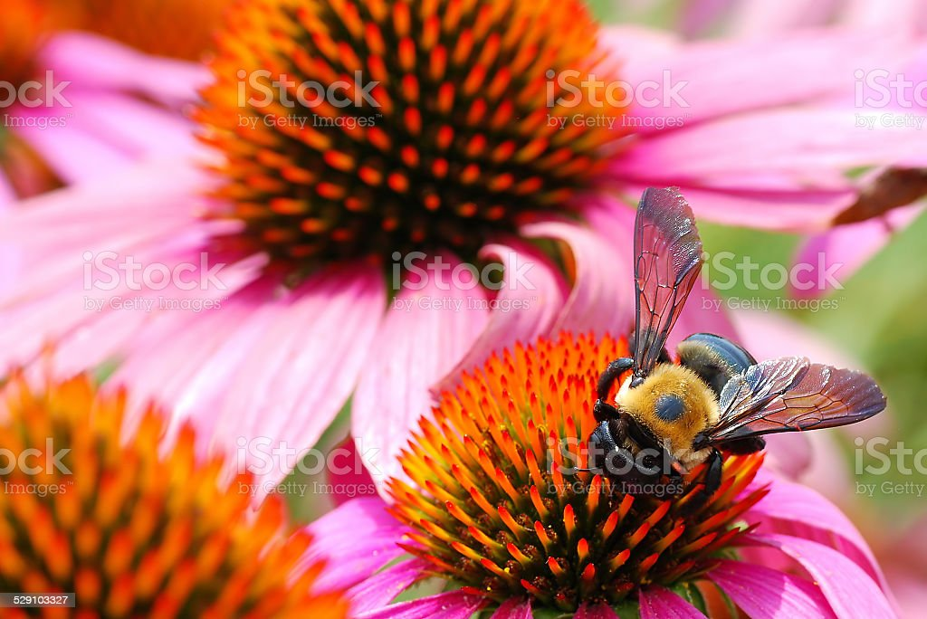 Bee Rushes to Harvest Pollen from Various Echinacea Flowers stock photo
