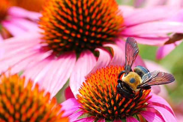 ape giornalieri per raccogliere polline dai fiori di diverse echinacea - calabrone ape foto e immagini stock