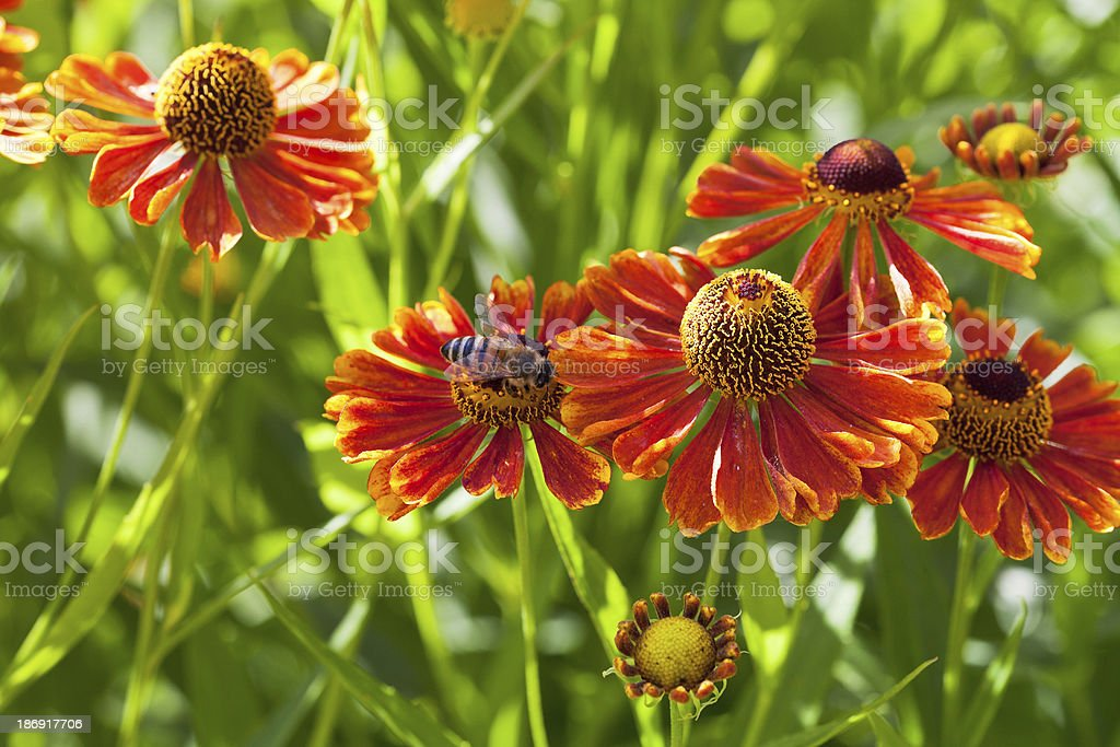bee sips nectar from red gaillardia flower royalty-free stock photo