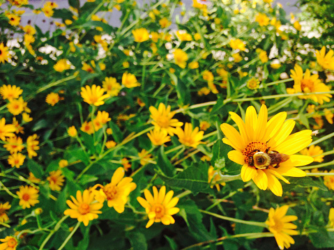 A bee visits a coreopsis bloom amid many blooms in Ohio in June.