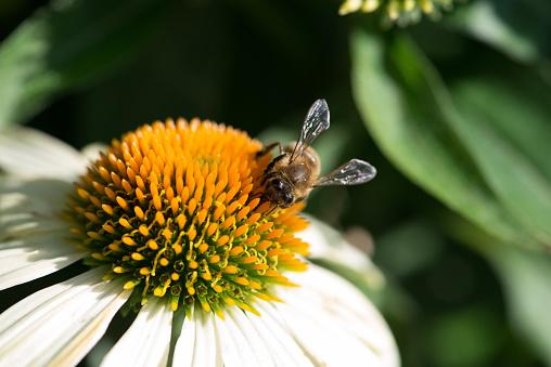 Bee sitting on beautiful field chamomile