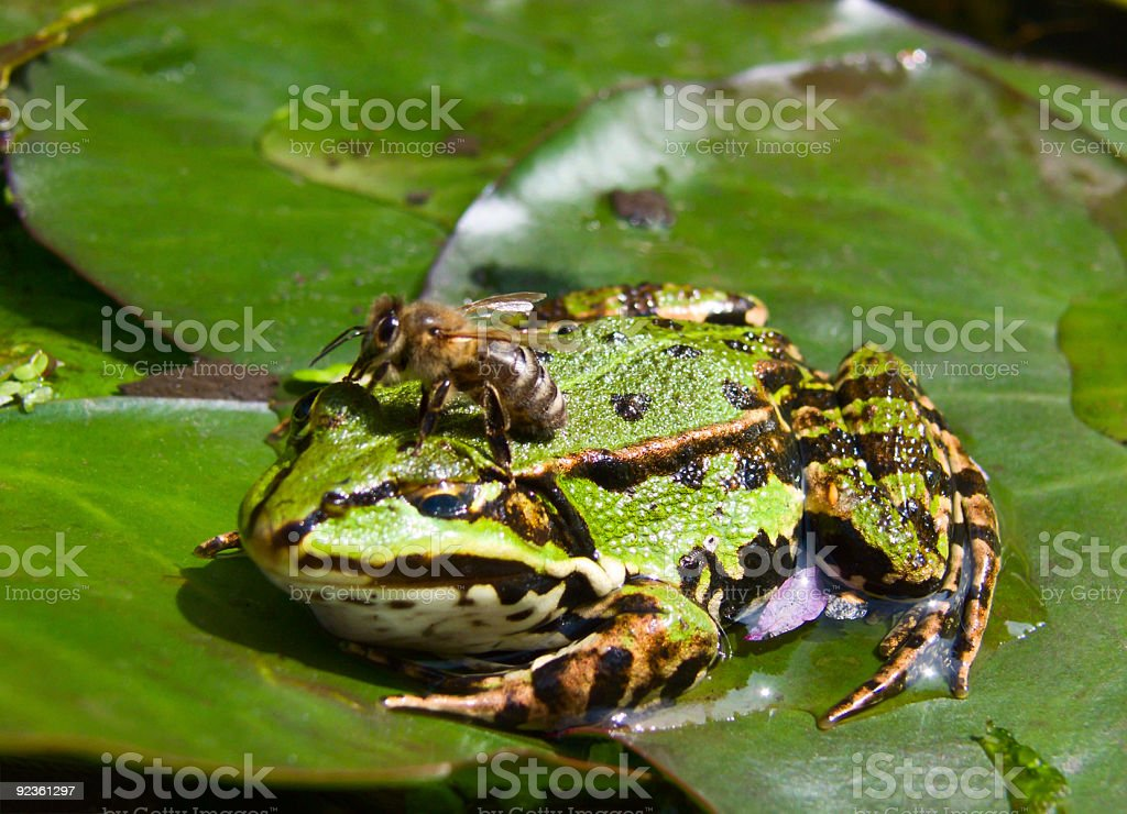 Bee sitting on frog royalty-free stock photo