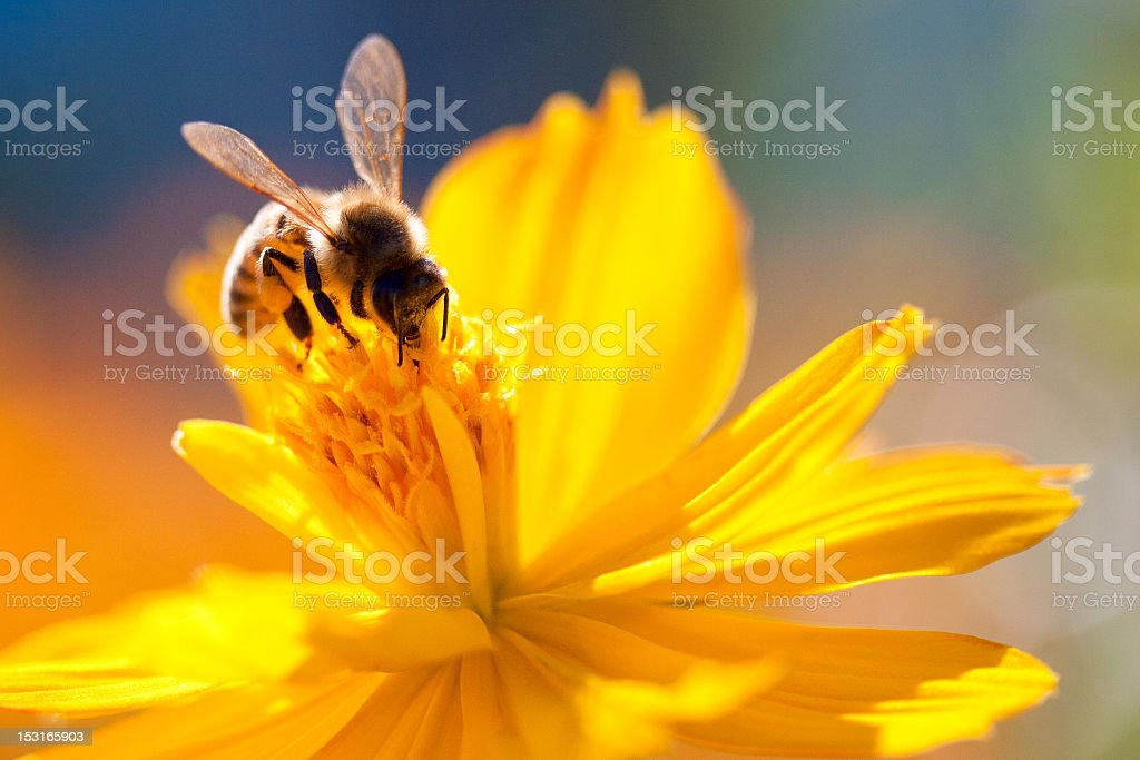 Bee sucking nectar out of a yellow flower stock photo