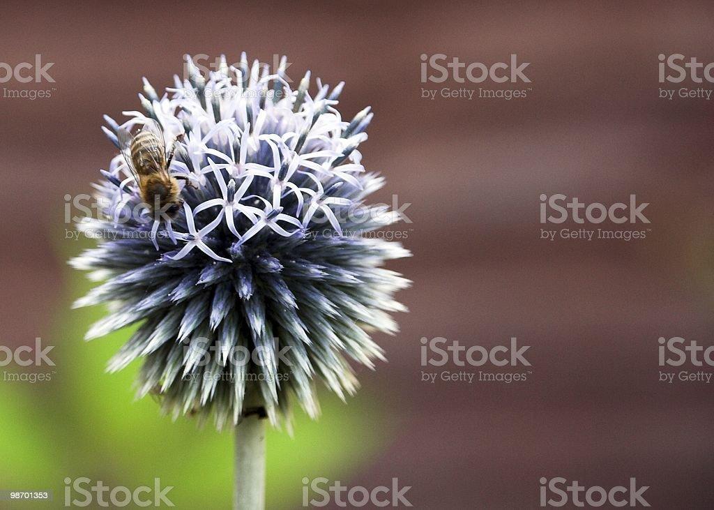 꿀벌 & 엉겅퀴 royalty-free 스톡 사진