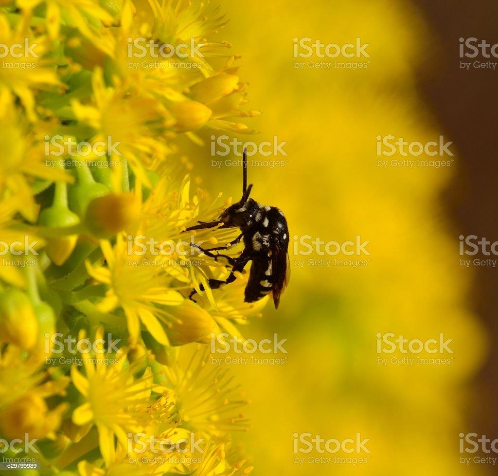 Bee thyreus histrionicus on wild flowers of aeonium undulatum stock photo