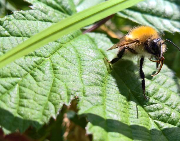 Biene-Zunge – Foto
