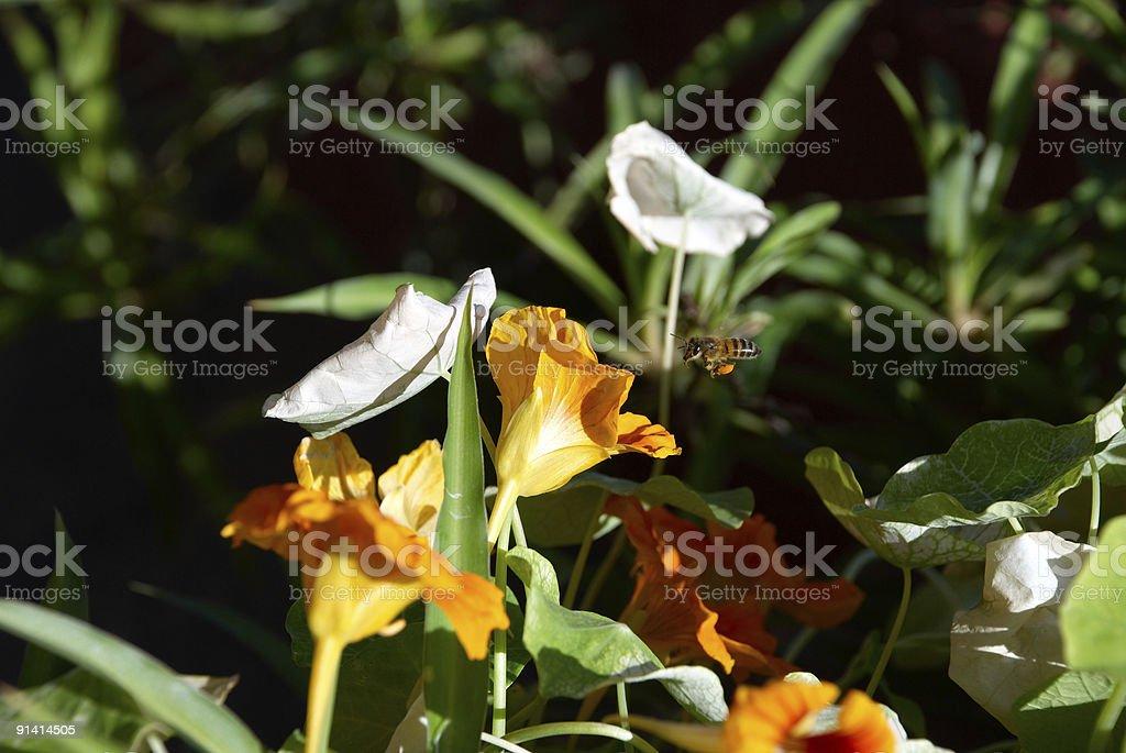Bee Towards Flower royalty-free stock photo