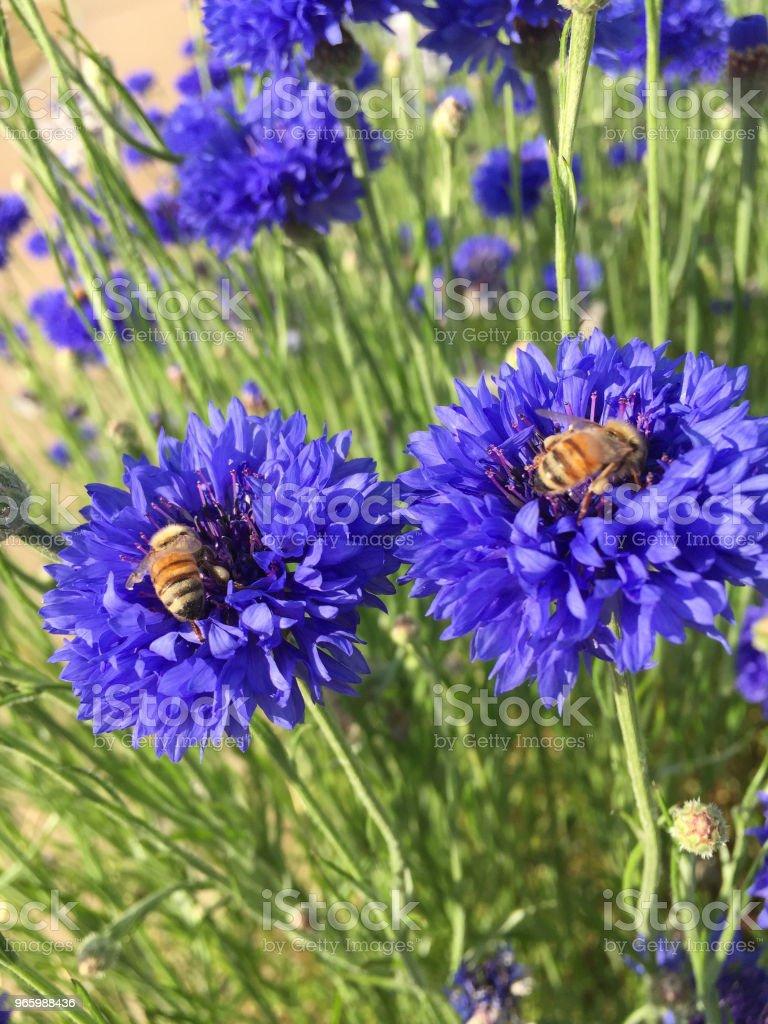 Bee & violet kleur bloem - Royalty-free Bij Stockfoto