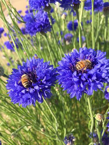Bee Violet Kleur Bloem Stockfoto en meer beelden van Bij