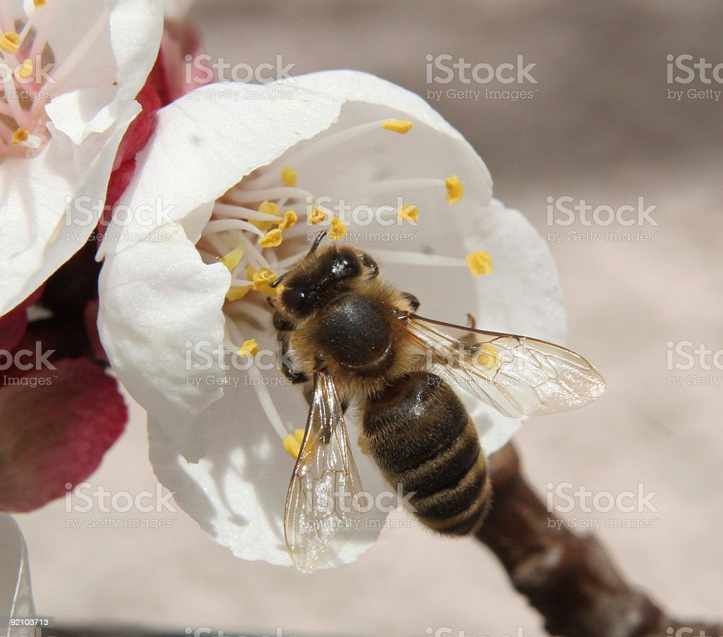 Bee visiting a apricot blossom royalty-free stock photo
