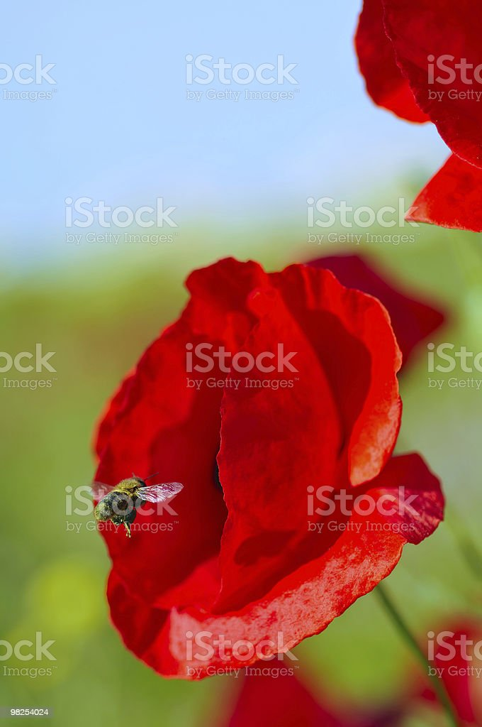 Bee Visiting Poppy in Field royalty-free stock photo