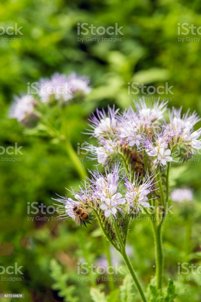 Bee visits a purple flowering lacy phacelia from close stock photo