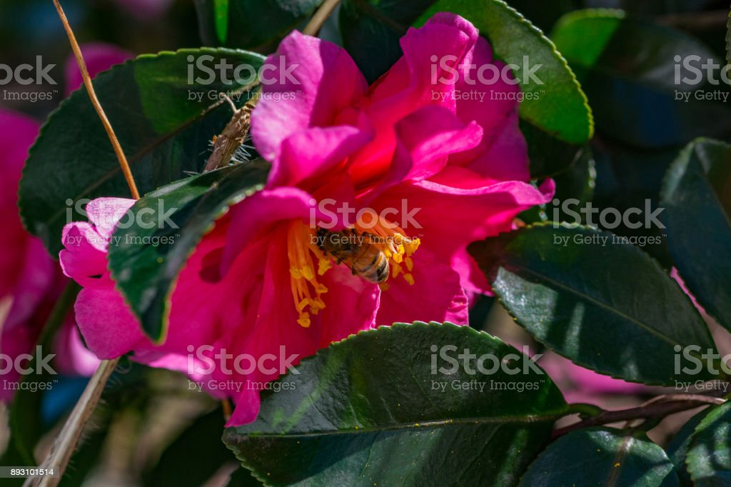 A bee visits a rose of winter, or Camellia, flower stock photo