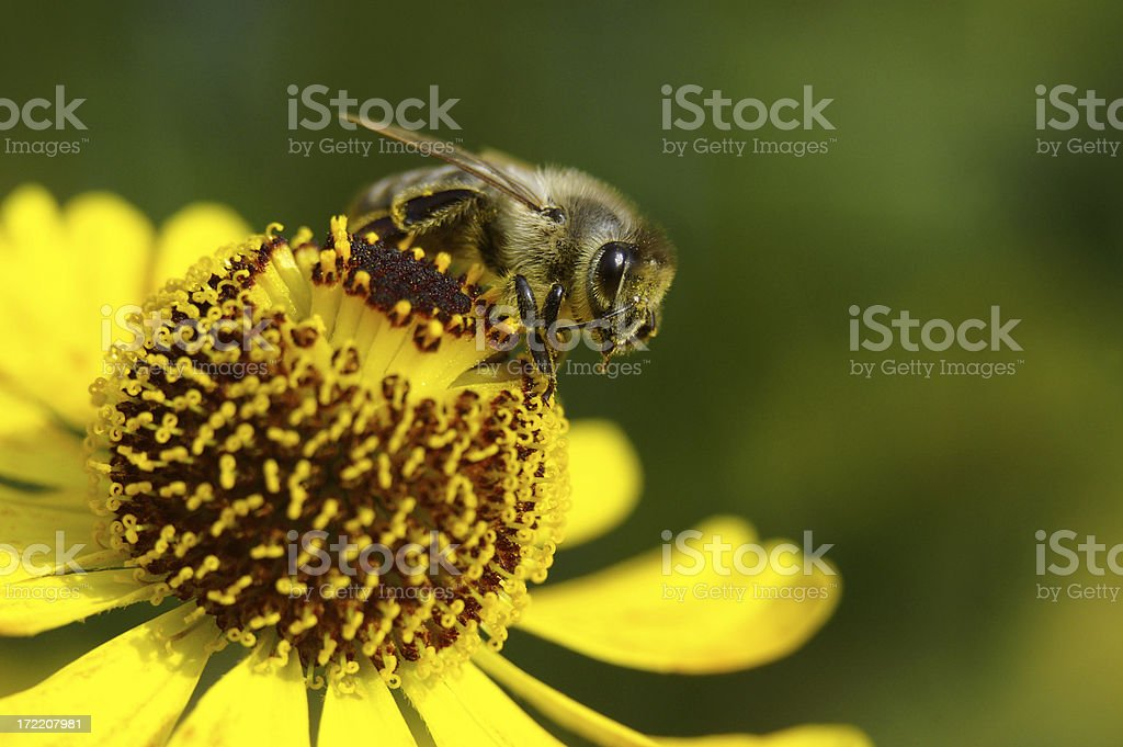 Bee wants to fly off royalty-free stock photo
