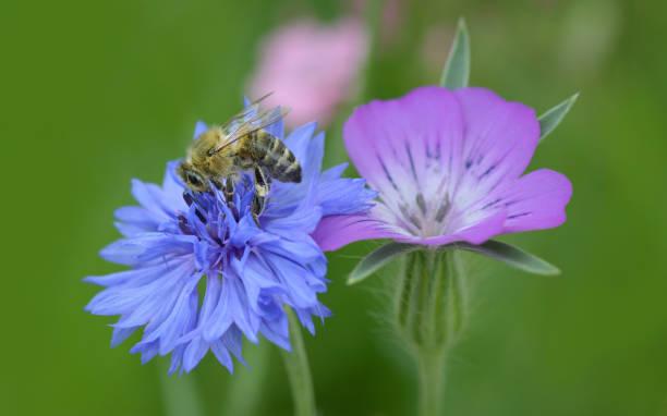 Biene beim bestäuben einer Blüte – Foto