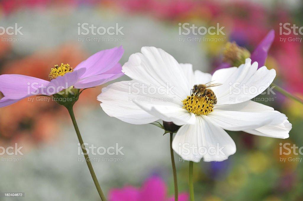 Bee & White Daisy stock photo