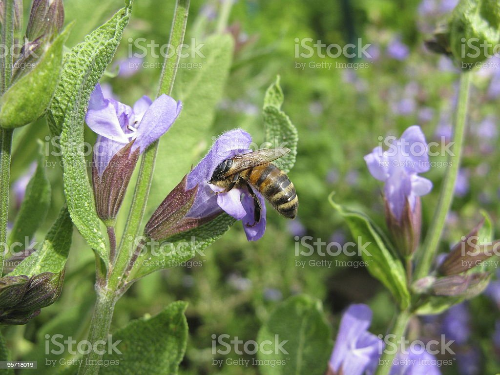 Bee with a sage flower royalty-free stock photo