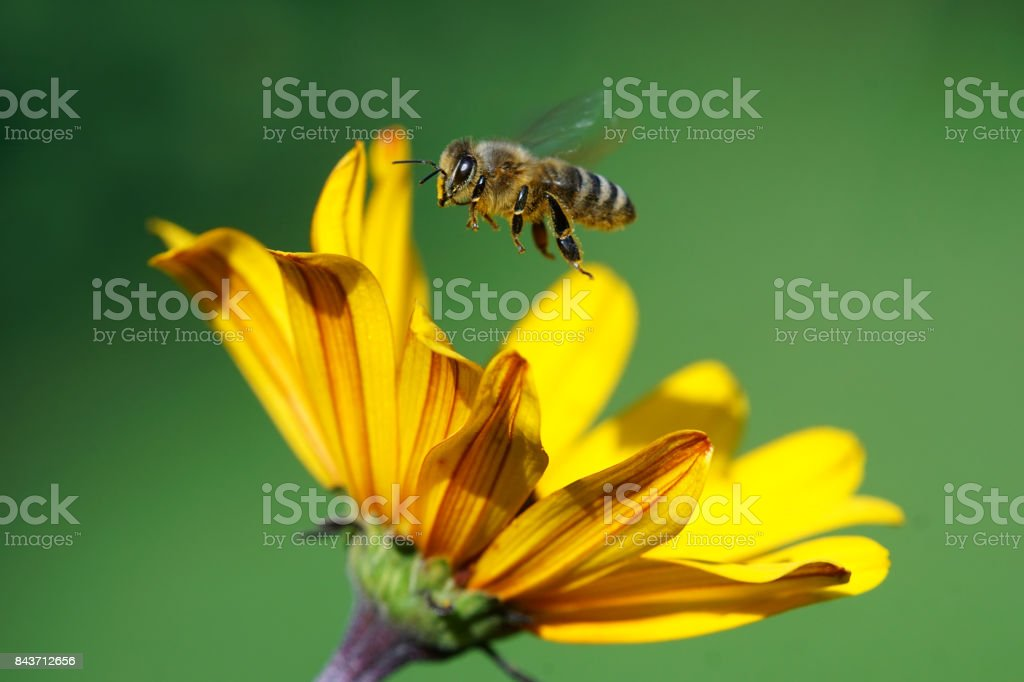 Bee with flower stock photo