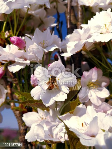 Young bee with iridescent wings and pollen pellets collecting nectar and pollen on white and pink cherry plum flowers in sunny day in spring. Natural background for wallpaper for positive emotions