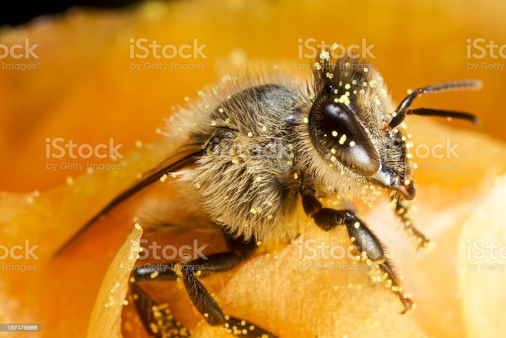 Bee with Pollen stock photo