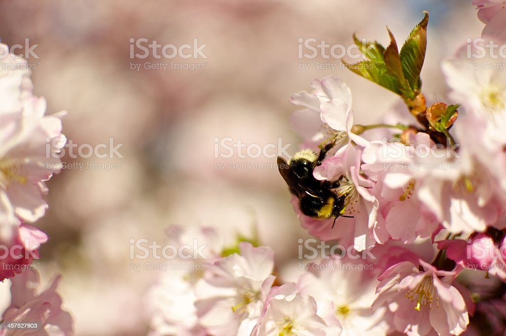 Bee within cherry blossoms - Palatinate, Germany royalty-free stock photo