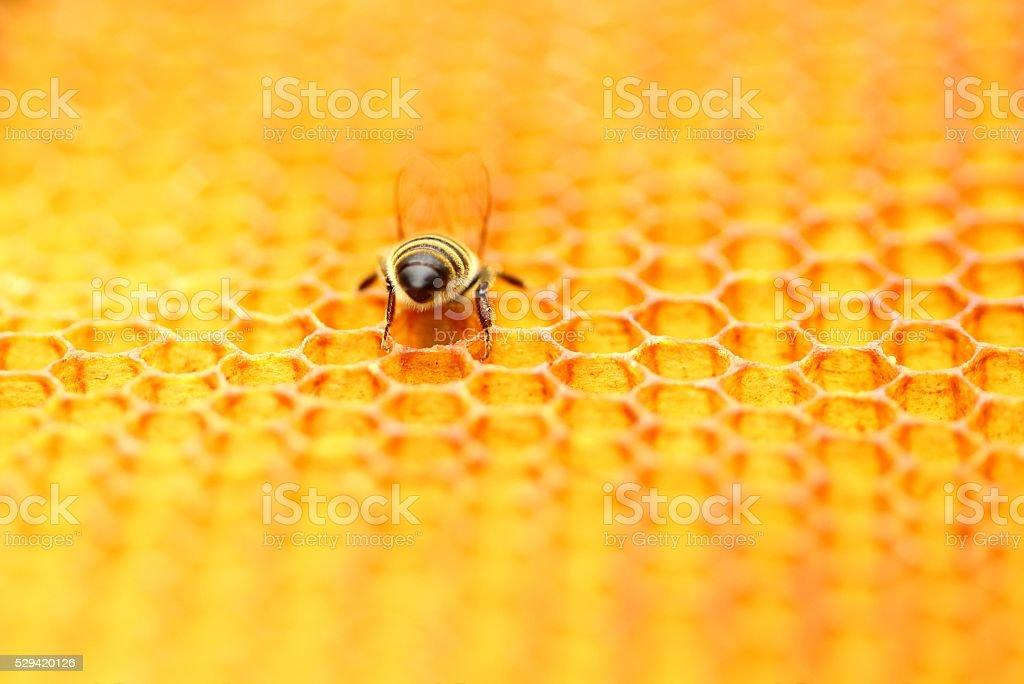 Bee worker in honeycomb stock photo
