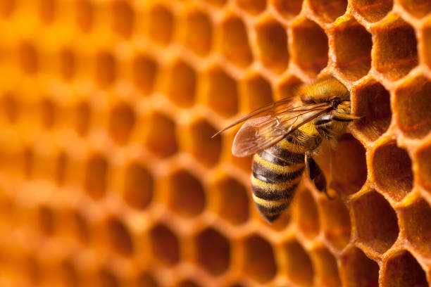 Bee working on a honeycomb. stock photo