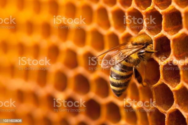 Photo of Bee working on a honeycomb.