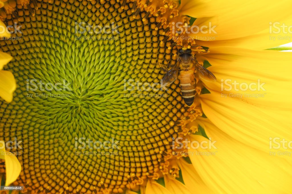 Bee working on a sunflower stock photo