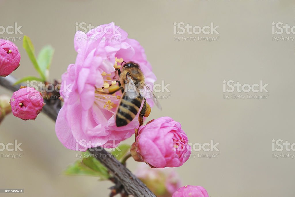Bee Working On Flower With Honey - XLarge royalty-free stock photo