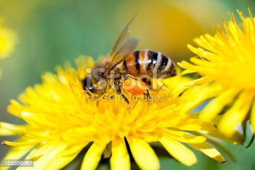 Macro Shot of Honey Bee Working On Dandelion