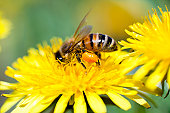 Macro Shot of Honey Bee Working On Dandelion