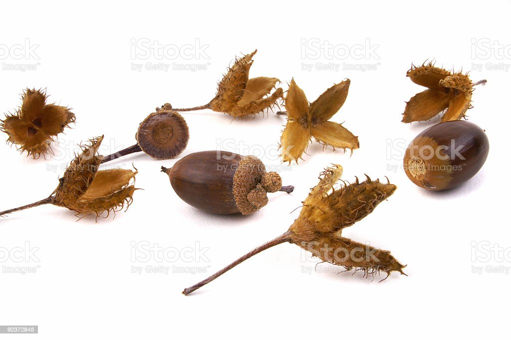 Beech and acorn seeds 2 royalty-free stock photo
