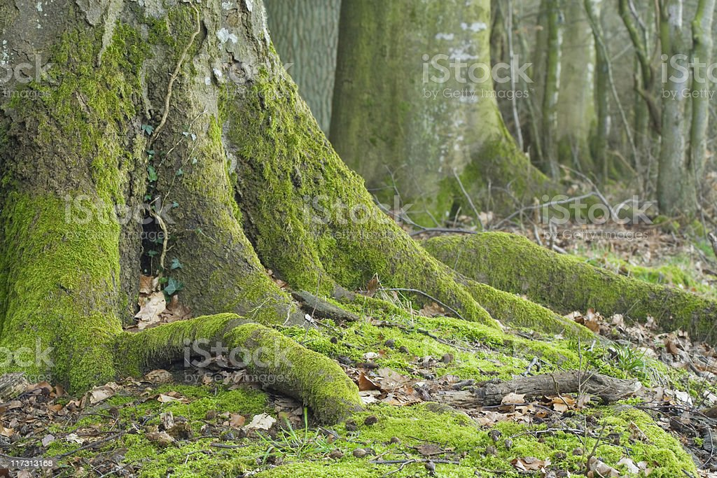 beech and oak trunks royalty-free stock photo