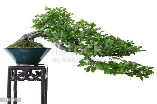 White isolated beech (Fagus sylvatica) as bonsai tree