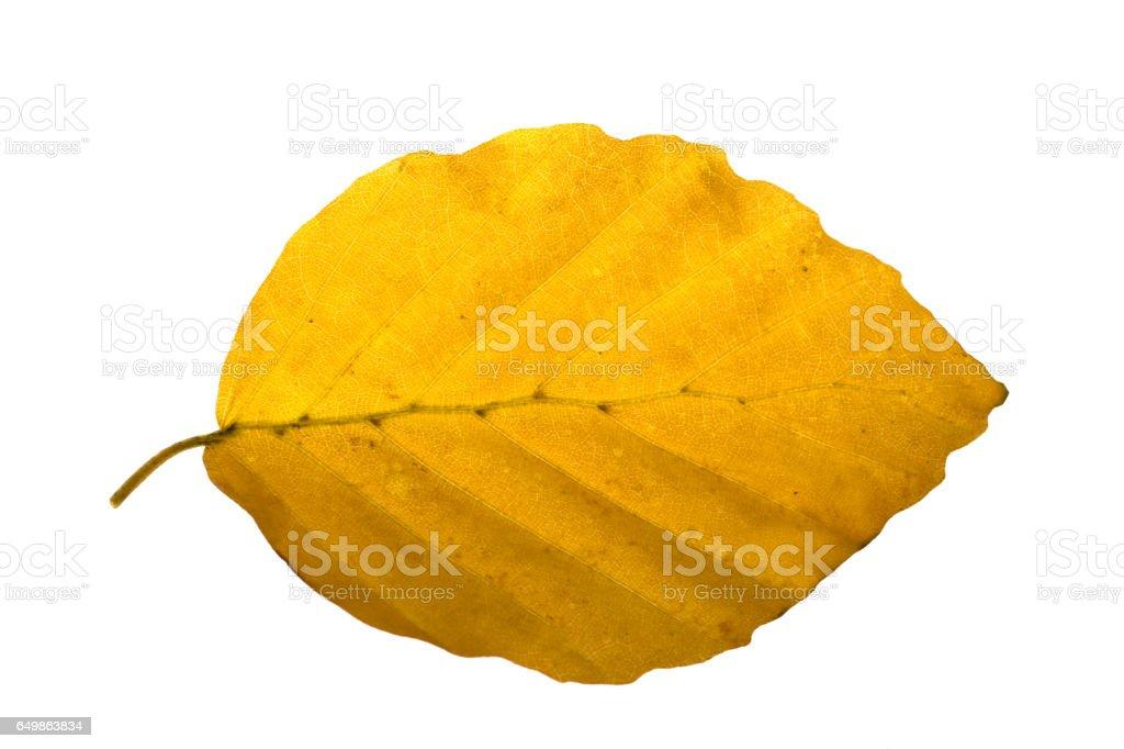 beech, autumn, autumn leaf stock photo
