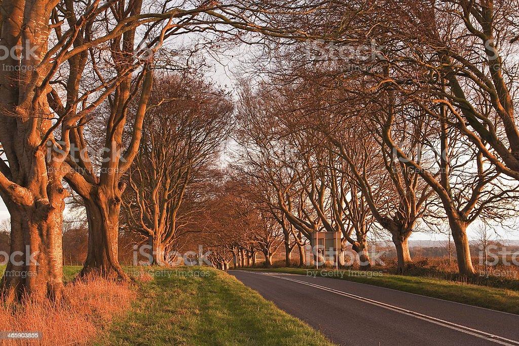 Beech avenue stock photo